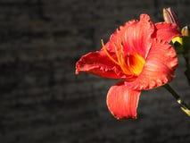 Leluja kwitnie na ciemnym tle jesień łatwy karciany redaguje kwiaty wakacje modyfikuje Pomarańczowa leluja Fotografia Stock