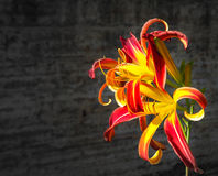 Leluja kwitnie na ciemnym tle jesień łatwy karciany redaguje kwiaty wakacje modyfikuje Pomarańczowa leluja Obrazy Royalty Free