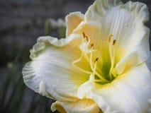 Leluja kwitnie na ciemnym tle jesień łatwy karciany redaguje kwiaty wakacje modyfikuje tło kwitnie leluja glansowanego biel dwa Zdjęcie Royalty Free