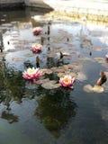 Leluja na jeziorze Fotografia Royalty Free