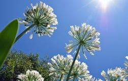 Leluja Nil agapantu kwiatów dorośnięcie w kierunku nieba Zdjęcia Stock