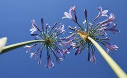 Leluja Nil agapantu kwiatów dorośnięcie w kierunku nieba Obraz Stock