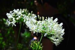 Leluja Nil (agapanty) zdjęcie stock