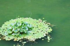 Leluja ochraniacz w małym stawie Fotografia Royalty Free