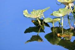 Leluja ochraniacza konanie w stawie obraz stock
