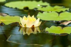 Leluja ochraniacze i lotosowy kwiat Fotografia Royalty Free