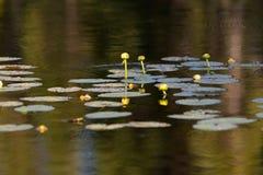 Leluja ochraniacze na jeziorze w lecie fotografia stock