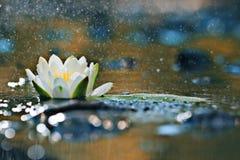 Leluja ochraniacze na wodzie Obraz Royalty Free