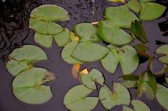 Leluja ochraniacze w lato czasie Fotografia Stock