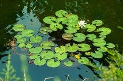 Leluja ochraniacze w strąku z jeden białym lotosowym kwiatem Fotografia Royalty Free