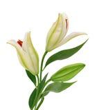 Leluja piękni kwiaty Fotografia Stock