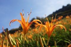 Leluja pomarańczowy kwiat Obrazy Stock