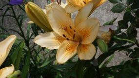 Leluja pomarańczowy kwiat obrazy royalty free