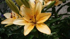 Leluja pomarańczowy kwiat zdjęcia stock