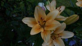 Leluja pomarańczowy kwiat zdjęcie stock