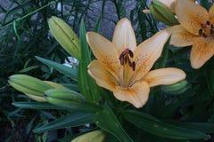 Leluja pomarańczowy kwiat obraz royalty free