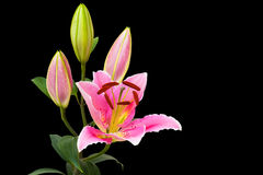 Leluja różowy Kwiat Obrazy Royalty Free