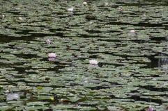 Leluja staw z różowymi okwitnięciami Fotografia Royalty Free