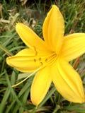 Leluja żółty kwiat Fotografia Royalty Free