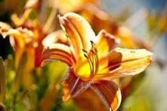 Leluja tygrysi kwiat Zdjęcia Royalty Free