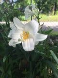 Leluja w kwiacie obraz royalty free