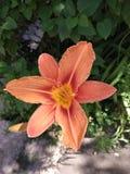 Leluja w słonecznym dniu Zdjęcia Stock