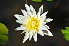 Leluja w wodzie przeciw tłu zieleni liście zdjęcia royalty free