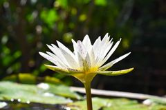 Leluja w wodzie przeciw tłu zieleni liście obrazy royalty free
