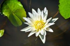 Leluja w wodzie przeciw tłu zieleni liście obraz royalty free