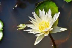 Leluja w wodzie przeciw tłu zieleni liście obraz stock