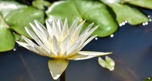 Leluja w wodzie przeciw tłu zieleni liście zdjęcia stock