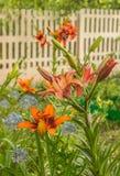 Leluje Azjatyccy hybrydy i dekoracyjne błękitne cebule w ogródzie obraz royalty free