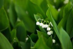 Leluje dolina, leluja, natura, dziki kwiat Zdjęcie Stock