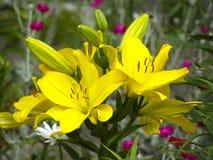 leluje kwiaty ogrodu letni kwiat Obrazy Stock