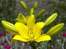 leluje kwiaty ogrodu letni kwiat Zdjęcia Royalty Free