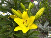 leluje kwiaty ogrodu letni kwiat Obrazy Royalty Free