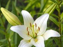leluje kwiaty ogrodu letni kwiat Zdjęcie Stock