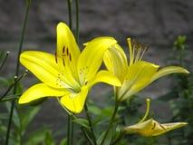 leluje kwiaty ogrodu letni kwiat Zdjęcia Stock