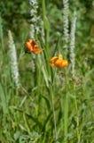 Leluje las i pole: Tygrysi Lillies Zdjęcie Royalty Free
