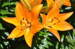 Leluje (Lilium) pomarańczowy kolor Zdjęcie Stock