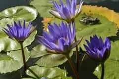 Leluje - piękny kwiat zdjęcia stock