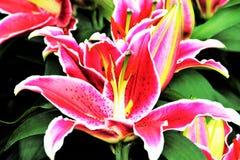 Leluje w kwiacie w ogródach Podpalanym Singapur Fotografia Stock