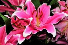 Leluje w kwiacie w ogródach Podpalanym Singapur Zdjęcia Royalty Free