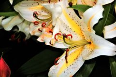 Leluje w kwiacie w ogródach Podpalanym Singapur Obrazy Royalty Free