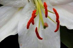 Leluje w kwiacie w ogródach Podpalanym Singapur Zdjęcie Royalty Free