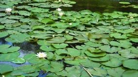 Leluje w rzece spokojny dzień zbiory