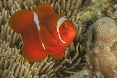 Lembeh Strait  Tomato clown Royalty Free Stock Photos