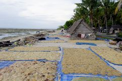 lembongan nusa för lantgård seaweed Royaltyfri Bild