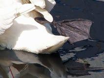 Lemmasna av en svan Royaltyfri Fotografi