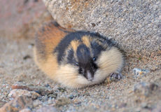 Lemming Royalty Free Stock Photography
